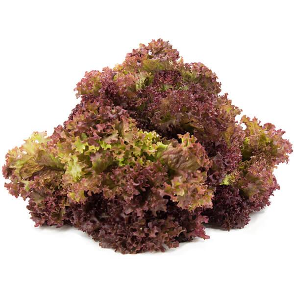 Lolla Rosa lettuce