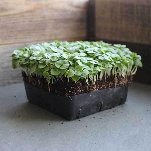 Basil Genovese Microgreens