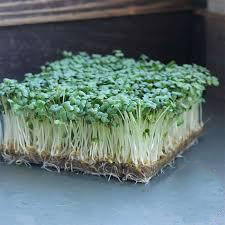 Mustard Wasabi Microgreens